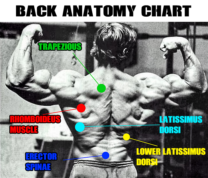 Back Workouts Musclesports