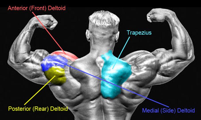 Shoulder Workouts! - MuscleSports.net